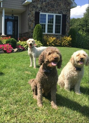 Willowgreen Golden Doodles Of New York Puppies For Sale
